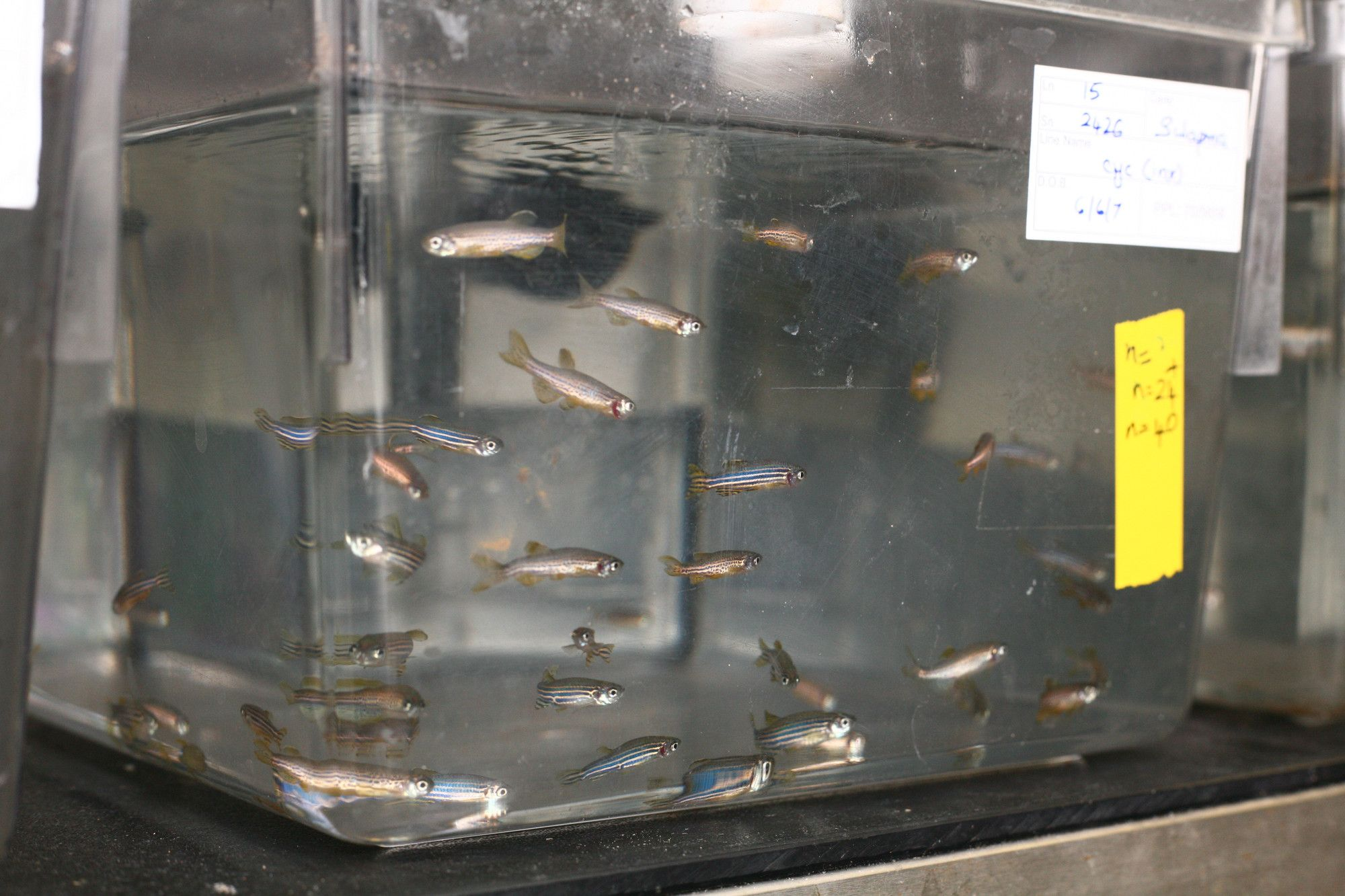 A tank of water with zebra fish swimming around